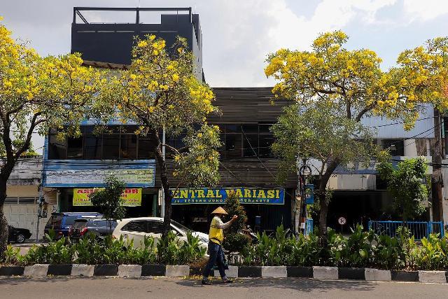 Bunga Tabebuya Kuning