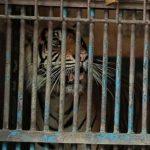 Harimau Hari Tino